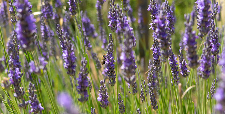 CEC A Touch Of Lavender