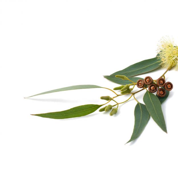 Eucalyptus etherische olie, biologisch