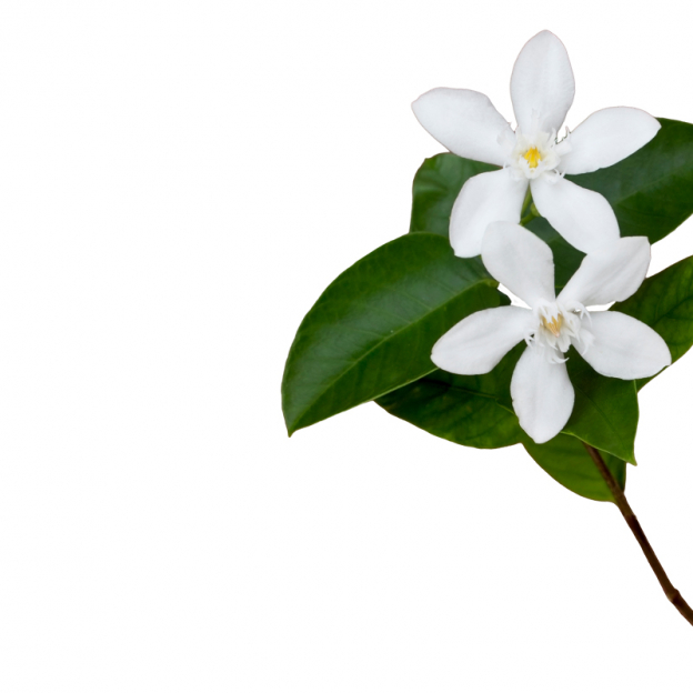 Jasmijn, absolue, Cultivar