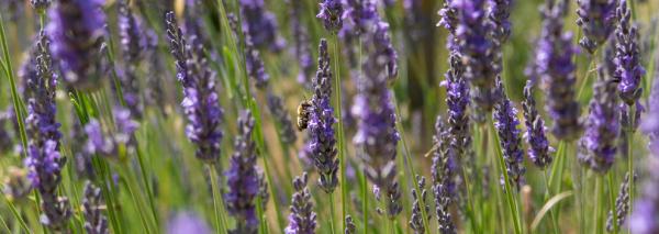 Het verschil tussen de lavendelsoorten